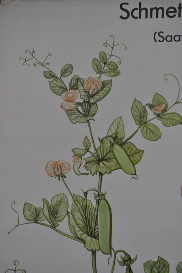 vintage large botanical wall poster print sweet pea