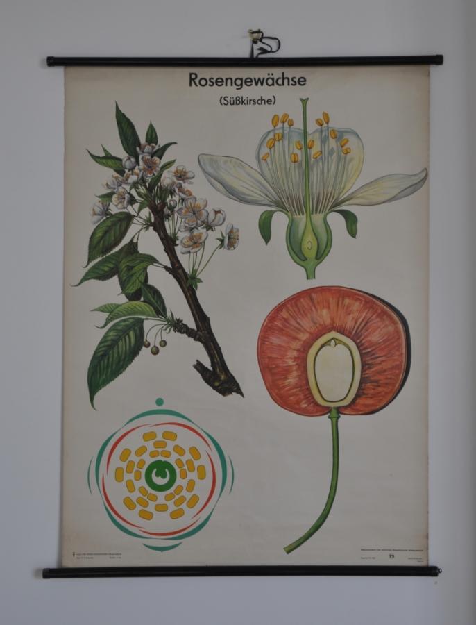 vintage large botanical wall poster  print  rose hip