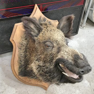 French Taxidermy Wild Boars Head