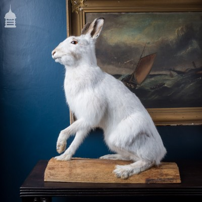 Arctic Hare Taxidermy on Oak Mount